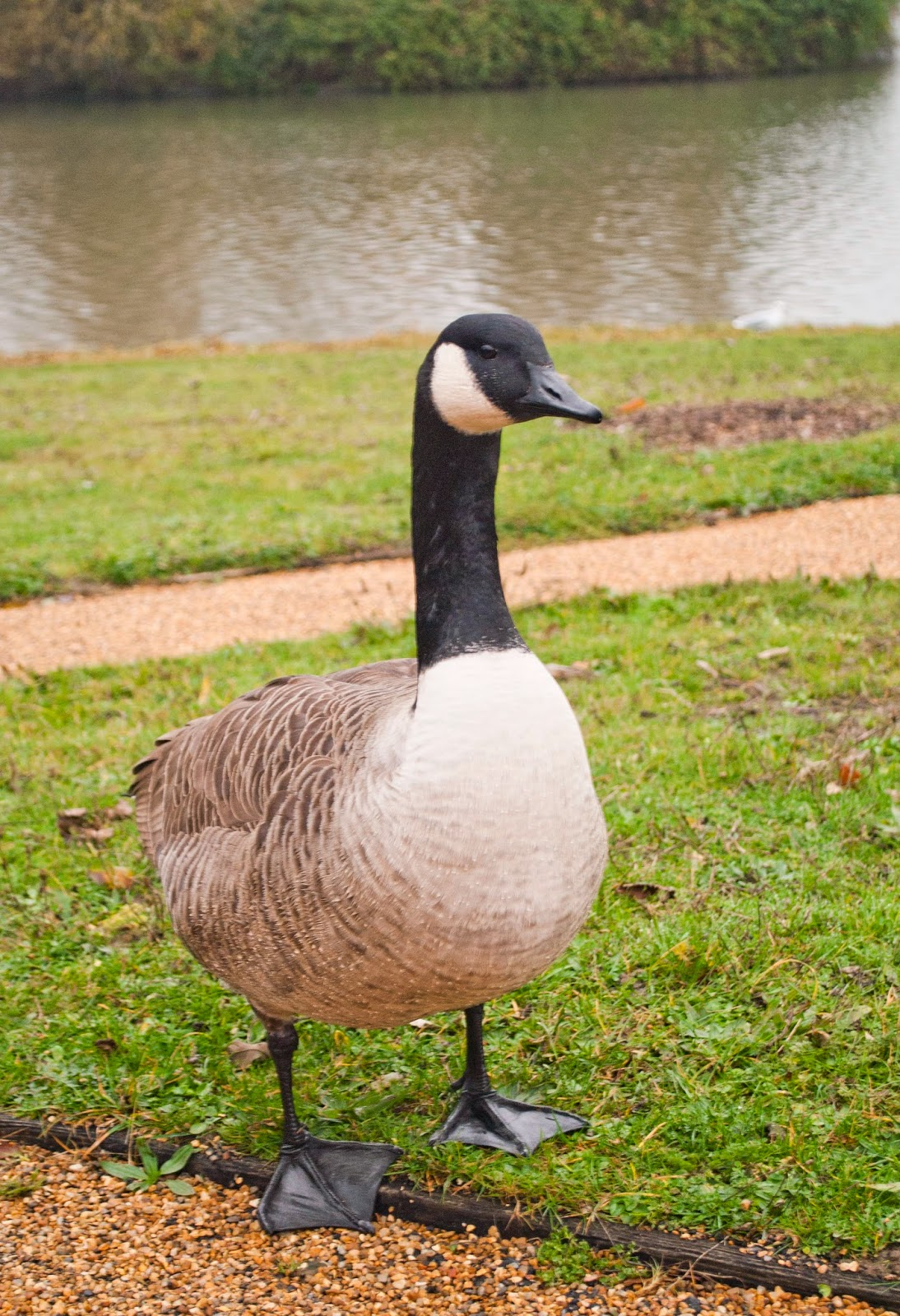 canada goose CHATEAU codziennego